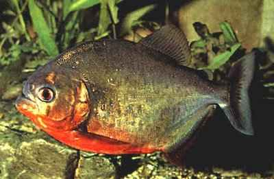 Piranha a ventre rouge a donner animaux poissons for A donner poisson