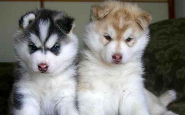 chiots husky sib rien a vendre animaux chiens. Black Bedroom Furniture Sets. Home Design Ideas