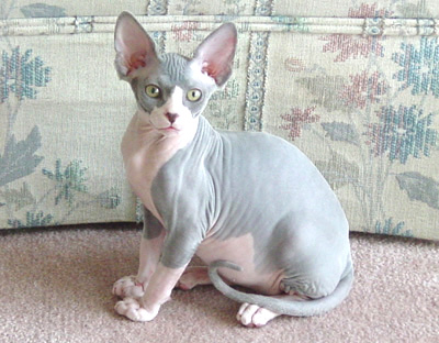 Chatons Sphynx A Vendre Animaux Chats Acmtl Com